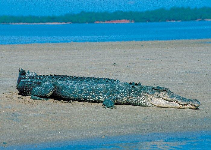 Australias-saltwater-crocodiles-said-worlds-most-aggressive